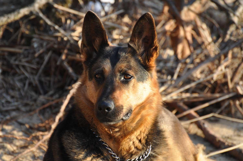 BARF-Hundefutter für deutschen Schäferhund