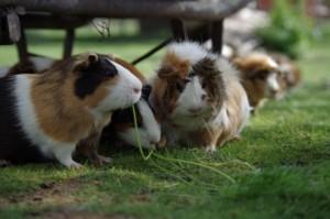 Hamsterkäfig Holz Hamster nie alleine halten