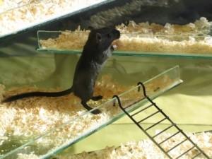 Mäusekäfig Welche Größe