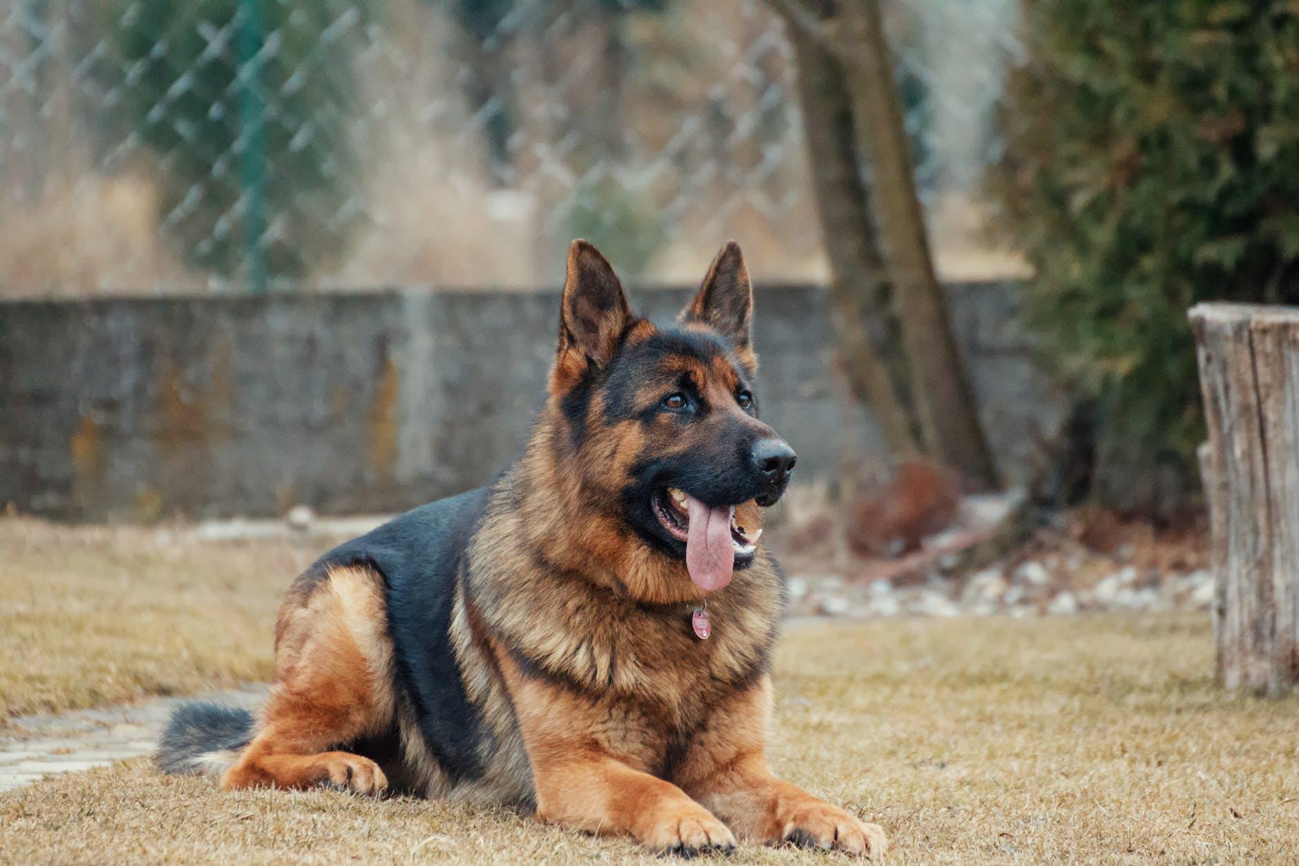 Hundefutter: Schäferhund vor Fütterung