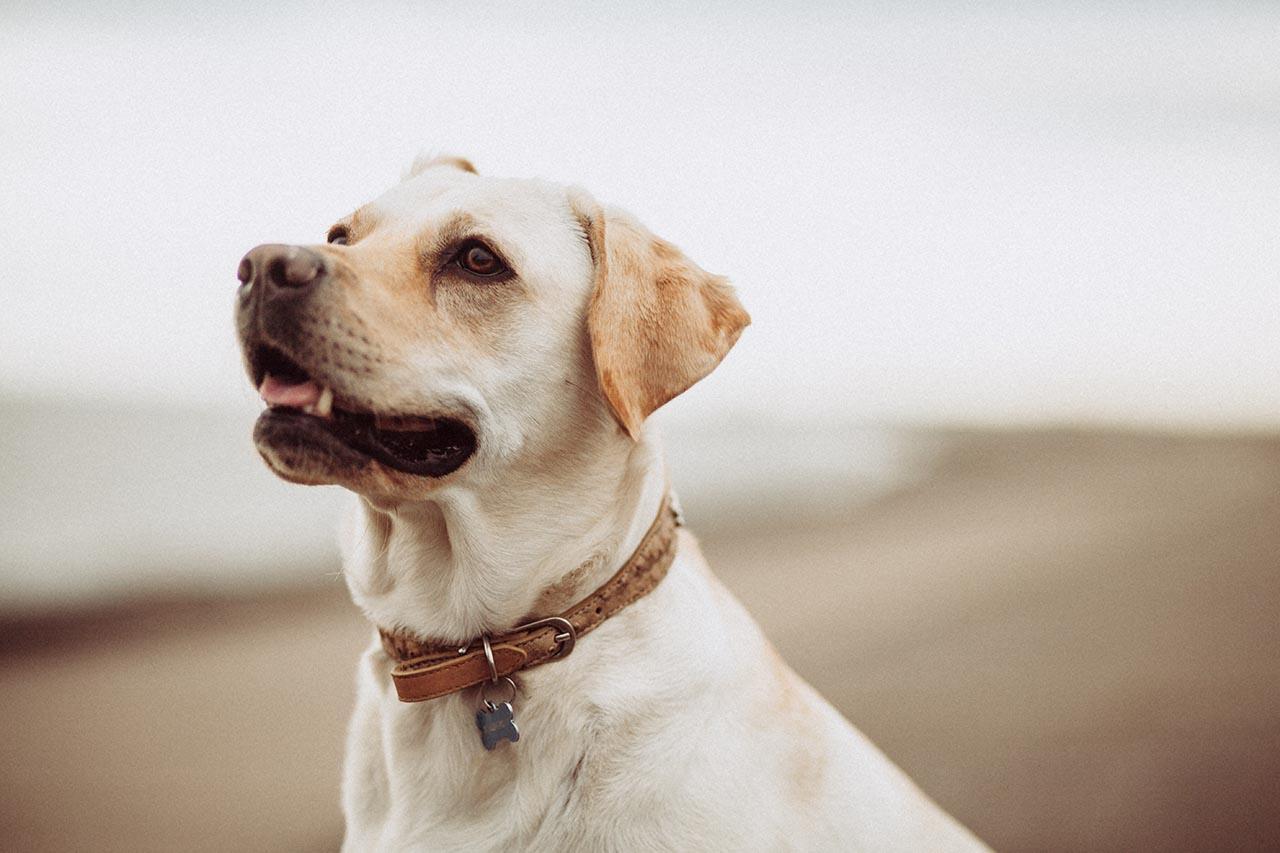 Leder Hundehalsband Test