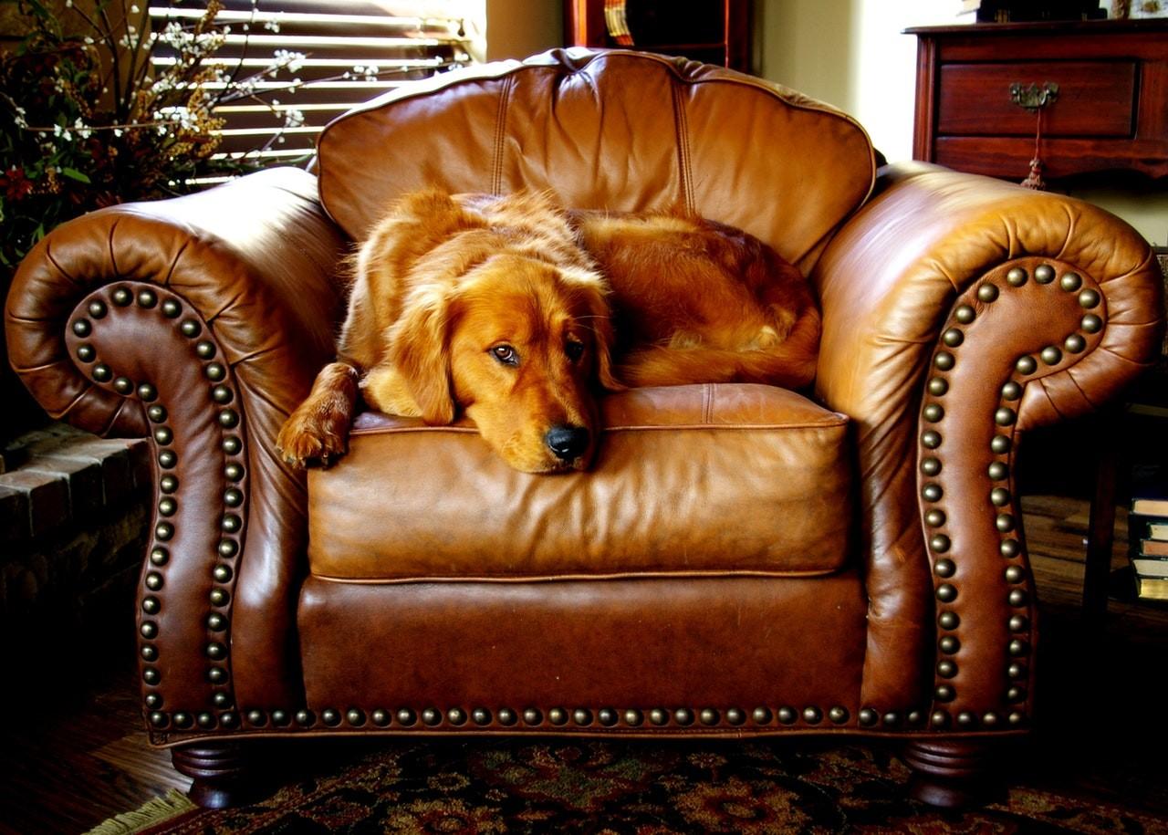 Leder Clubsessel Hund